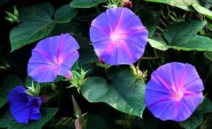 Blue Dawn flower